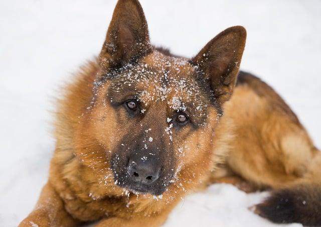 Kommissar Rex im Schnee.